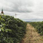 Tchibo letos sklidí kávu na svých plantážích na Moravě ana Slovensku