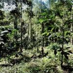 Za pěstováním kávy do thajské džungle