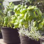 Kdy bylinky vkvětináči vydrží? Když si je vypěstujete od semínka