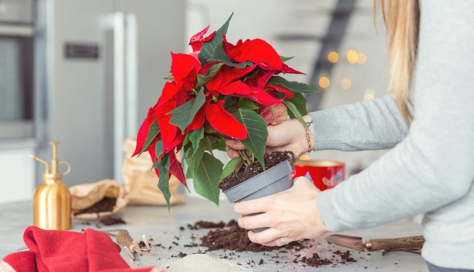 Jak pečovat ovánoční hvězdu? Může vydržet (nejen) do dalších Vánoc!