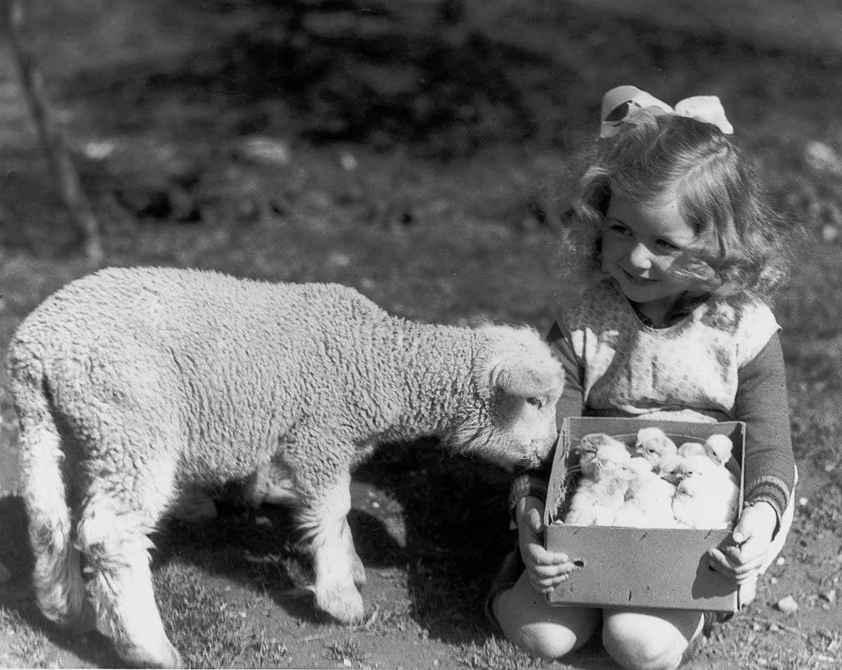 UNITED KINGDOM - JUNE 01: Small girl holding a box of chicks next to a lamb, c 1930s. (Photo by SSPL/Getty Images)